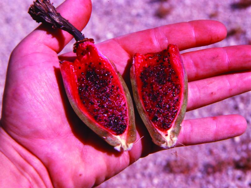 Desert Fruits